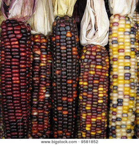 Vertically aligned five dry indian corns arrangement poster