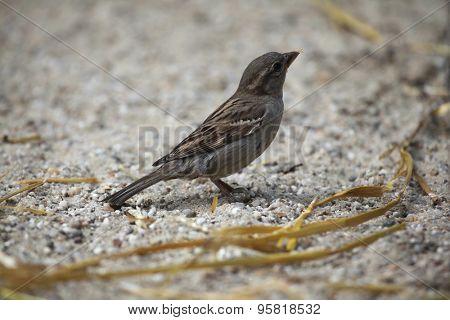 Female house sparrow (Passer domesticus). Wild life animal.