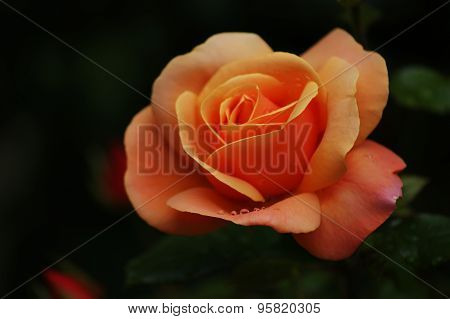 Orange Rose With Raindrops