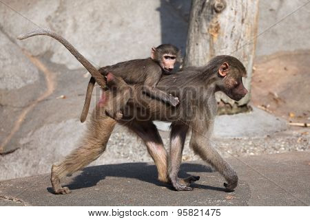 Female Hamadryas baboon (Papio hamadryas) with a baby on its back. Wild life animal.