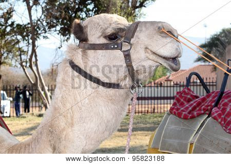 Close Up Of Camel Face Used For Joyrides At  Festival