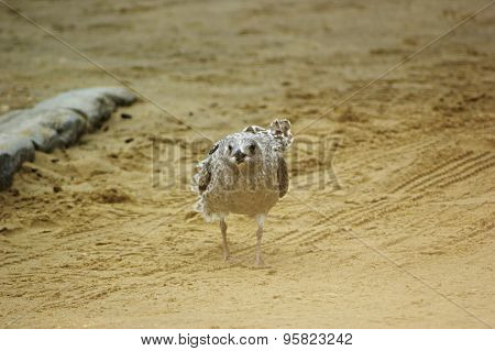 Juvenile Herring Gull From Front