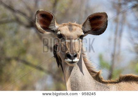 Big Eared Kudu