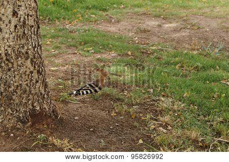 Hoopoe on a green grass