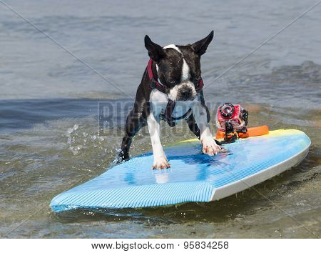 Boston Terrier Surfing The Waves