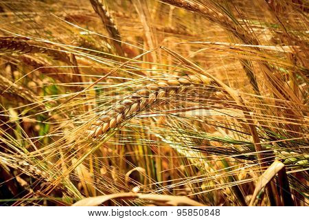 Closeup On Golden Wheat Field At Summer Day