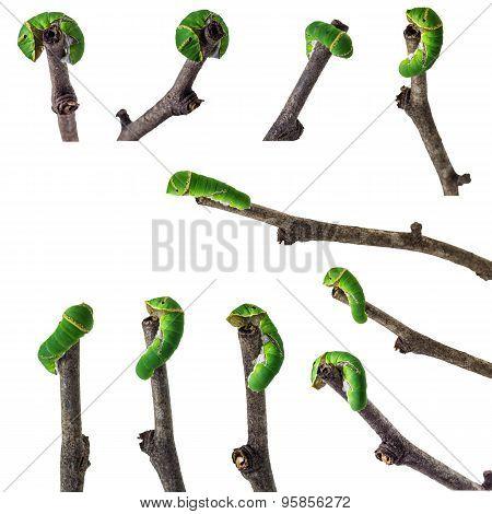 Green Plant Worm