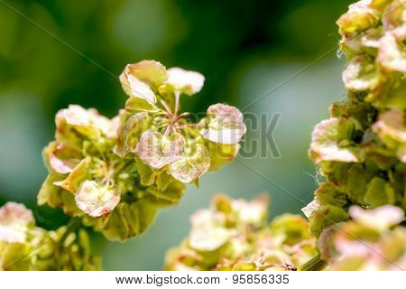 Macro detail of Rumex Crispus Flower under the warm summer sun poster