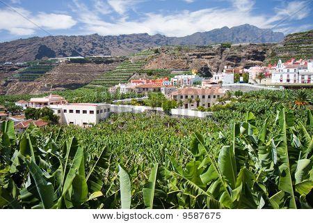 Banana Plantation At Tazacorte, La Palma