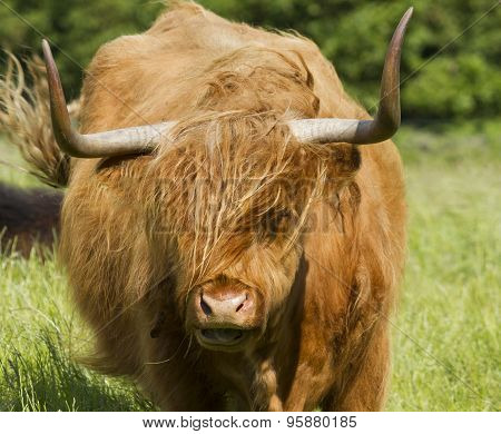 Scottish Highland Cattle In Meadow