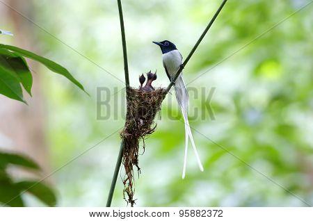 Asian Paradise Flycatcher Terpsiphone Paradisi White Morph Nest Baby