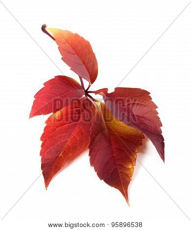 Red Autum Virginia Creeper Leaf