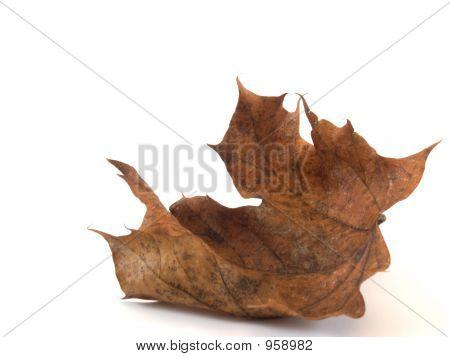 Crumpled Maple Leaf