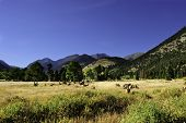 A herd of elk grazing in a meadow rocky mountain national park poster