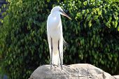 backlit image of a beautiful white bird standing on a rock. poster