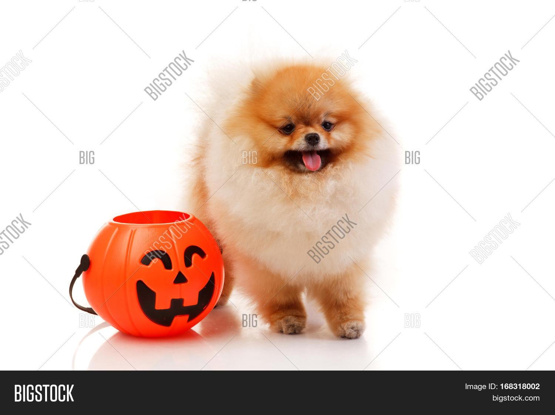 pomeranian spitz dog image & photo (free trial) | bigstock