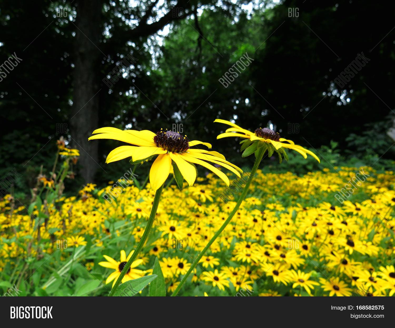 Black Eyed Susan Yellow Daisy Like Image Photo Bigstock