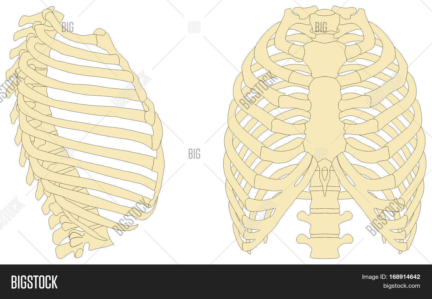 Human Rib Cage Anatomy Image Photo Free Trial Bigstock