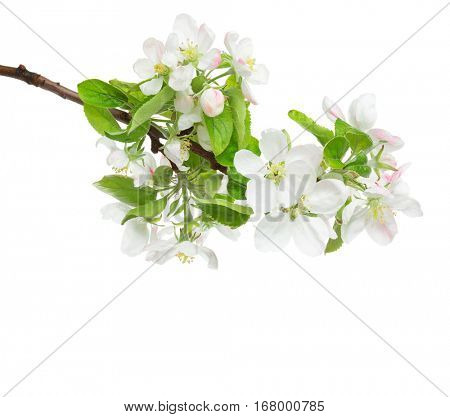 Blossoming apple tree branch isolated on white background.