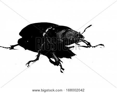 animal female stag beetle on a white background