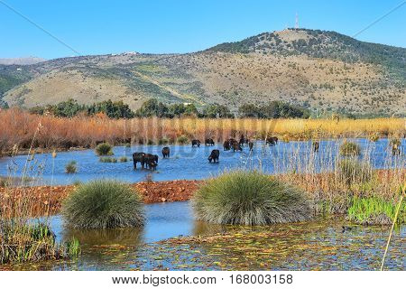 water buffalo grazing in Hula Lake nature reserve, Hula Valley, Israel