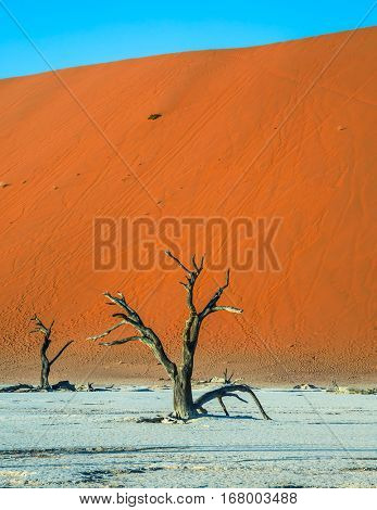 The dried lake Deadvlei. Picturesque ancient dried-up tree. Namibia, ecotourism in Namib-Naukluft National Park