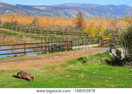 family of wild nutria in Hula Lake nature reserve, Hula Valley, Israel