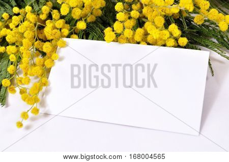 Mimosa flowers and white card with free space for text. Spring background with mimosa flowers. Mimosa flowers with blank card. Closeup of mimosa flowers