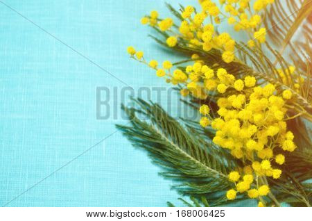 Mimosa flowers on the turquoise linen background. Spring background with spring flowers of mimosa. Focus at the mimosa flowers. Spring still life with yellow fluffy mimosa flowers