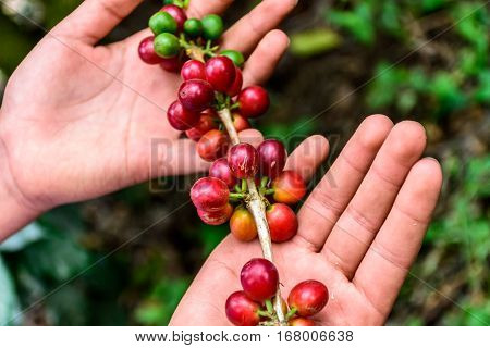 Hands hold branch of ripening coffee beans near Antigua, Guatemala, Central America