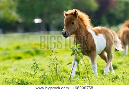 Cute shetland foal walking throguh the meadow exploring the world.