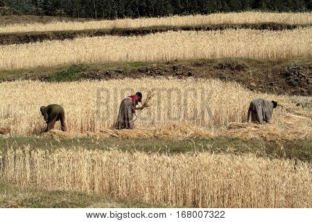 People are harvest cereals in Ethiopia, 09. November 2012
