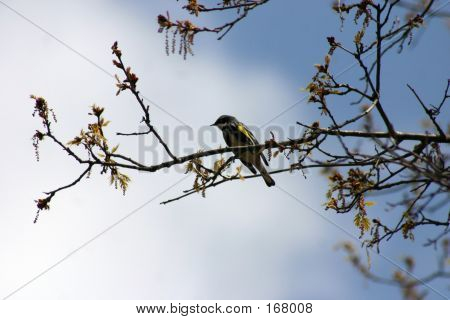 a yellow rumped warbler perched in a branch with new spring leaves poster