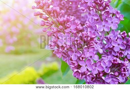 Lilac flowers spring floral background with blooming lilac. Selective focus at the central lilac flowers. Spring lilac flowers in blossom