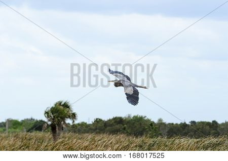 Great Blue Heron glides over embankment at Viera Wetlands