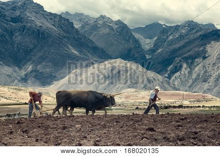 Sharecroppers plowing a field for potatoes. October 18 2012 - Maras Urubamba Valley Peru