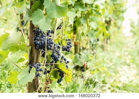 Red Vine Grapes In Switzerland In Summer