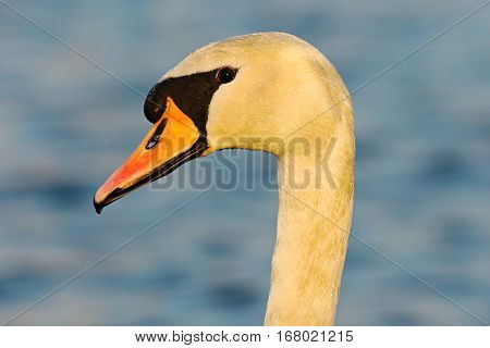 portrait of wild mute swan over blue out of focus background (Cygnus olor)
