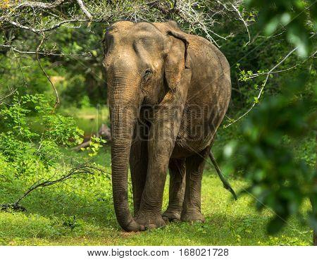 Asian Young Elephant, Nature Background. Yala, Sri Lanka