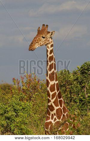 giraffe at tanzania national parks, Tanzania, africa