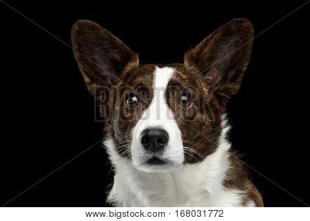 Close-up portrait of Brown with white Welsh Corgi Cardigan Dog, Alert face looking up on Isolated Black Background, front view