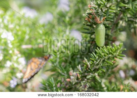 Monarch Butterfly Chrysalis with Monarch Butterfly in Background Selective Focus with Copy Space Horizontal