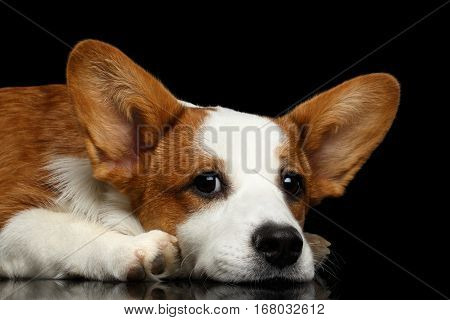 Close-up Red with white Welsh Corgi Cardigan Dog Lying with cute face on Isolated Black Background with reflection, front view