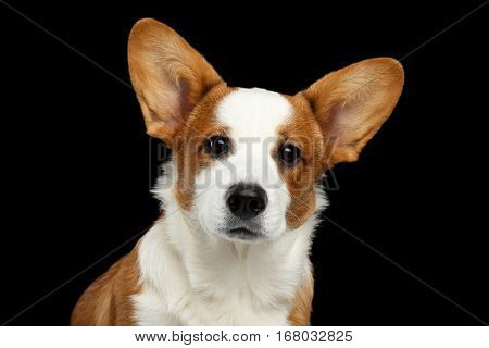Close-up Portrait Red with white Welsh Corgi Cardigan Dog, cute face of puppy, on Isolated Black Background, Front view