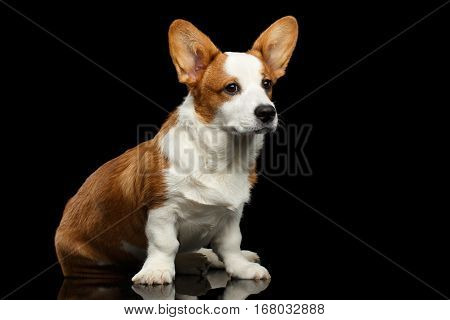 Red with white Welsh Corgi Cardigan Dog Sitting with cute face and looking up on Isolated Black Background with reflection, front view