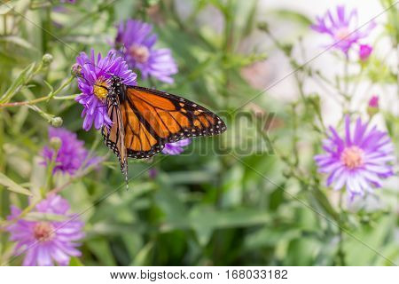 Monarch Butterfly in Garden on Purple Flowers Selective Focus with Copy Space