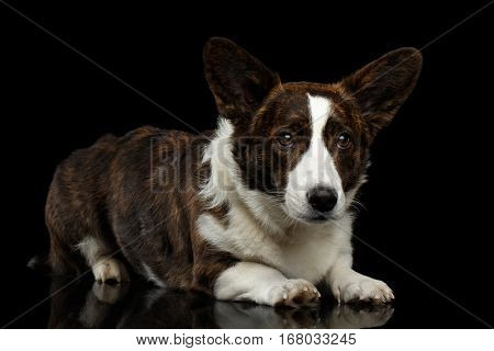 Brown Welsh Corgi Cardigan Dog Lying on Isolated Black Background, front view