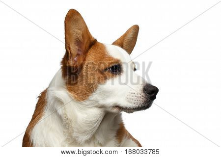 Close-up Portrait Red Welsh Corgi Cardigan Dog with cute face on Isolated White Background, Profile view