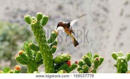 Hummingbird taking a sip of nectar from a cactus flower in the Atacama region of Chile.