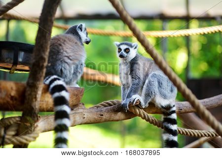 Two Cute Ring-tailed Lemurs Sitting On A Branch